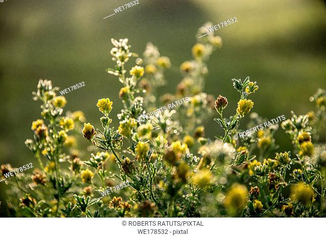 Blooming yellow flowers on a green grass. Meadow with wild flowers. Flowers is seed-bearing part of a plant, consisting of reproductive organs that are...