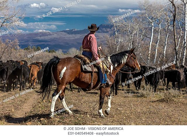 OCTOBER 2017, Ridgway, Col.orado: Cowboy- on Cattle Drive Gather Angus/Hereford cross cows and calves of Double Shoe Cattle Company, Centennial Ranch