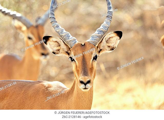 The beautiful face of an Impala Antelope, Aepyceros melampus, the blue sky of Africa mirroring in its eyes, Buffalo Springs, Kenya