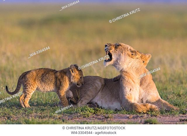 African Lion (Panthera leo), female with cubs, Masai Mara National Reserve, Kenya, East Africa