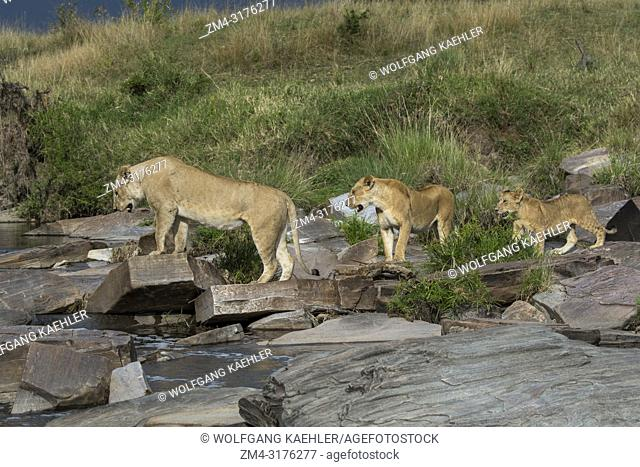 A lioness (Panthera leo) and her cubs crossing a small creek in the Masai Mara National Reserve in Kenya