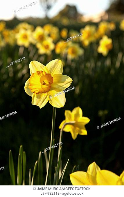 Daffodil in field early morning sunrise