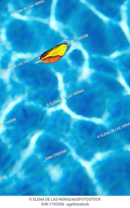 Leaf floating on a swimmingpool  Alicante  Spain