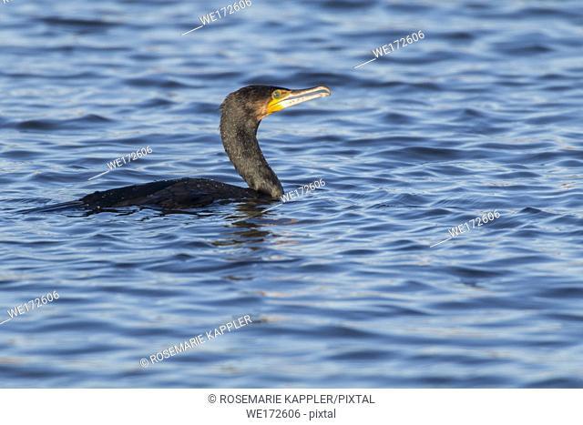 Germany, Saarland, Homburg - A cormorant on a sea near Dillingen in germany