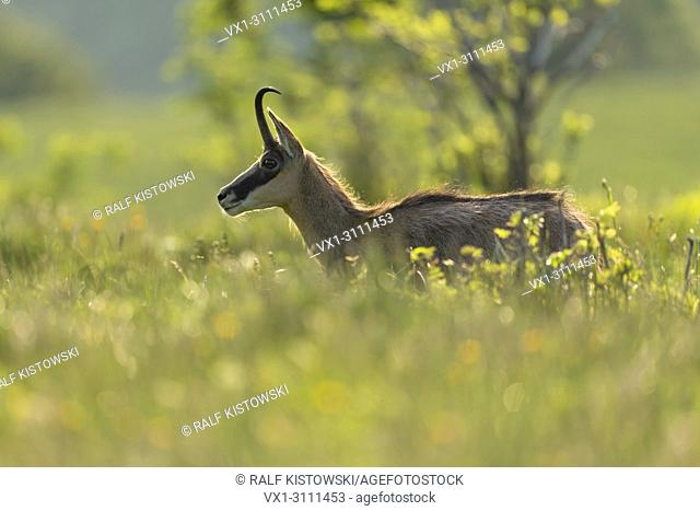 Chamois / Gaemse ( Rupicapra rupicapra ), adult, standing in high lush grass of a flowering alpine meadow, nice shining light, wildlife, Europe
