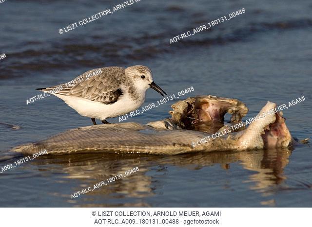 Sanderling foraging on dead fish, Sanderling, Calidris alba