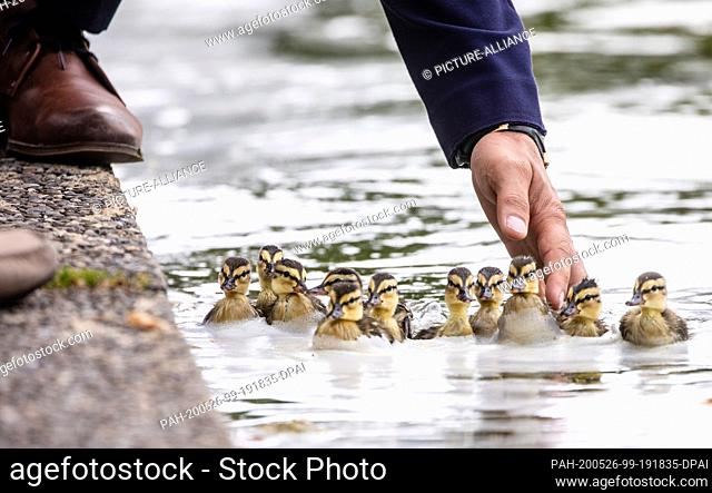 26 May 2020, Baden-Wuerttemberg, Stuttgart: A man helps ducklings out of the water. Shortly before, a family of ducks was attacked by a Nile goose in the water...