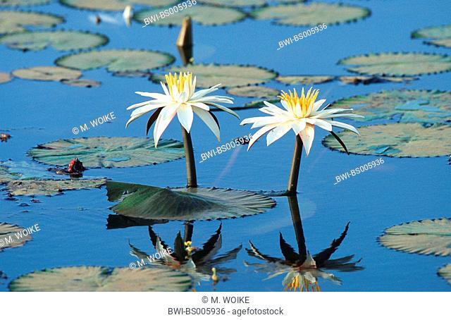 Egyptian water lily, white egyptian lotus (Nymphaea lotus), blooming, Senegal, Djoudj NP