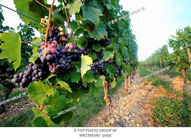 Germany Lauda town Vineyard