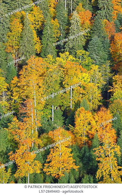 beech trees in forest, Switzerland,
