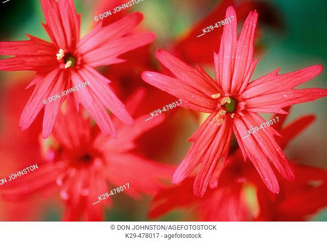 Fire pink, (Silene virginica). Close-up portrait. Great Smoky Mountains NP, Tennessee. USA