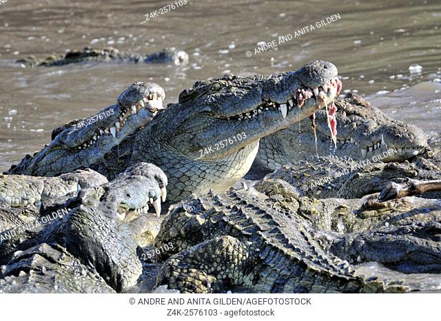 Nile Crocodile (Crocodylus niloticus) eating on Wildebeest (Connochaetes taurinus) after killing in Grumeti river, Serengeti national park, Tanzania