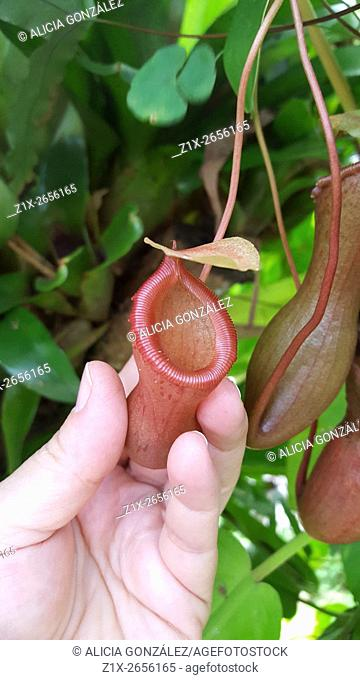 Nepenthes sp, also known as tropical pitcher plants or monkey cups, is a genus of carnivorous plants in the monotypic family Nepenthaceae
