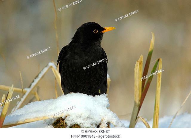 Swiss, Switzerland, Rheineck, avian, songbird, bird, birds, animal, blackbird, forest