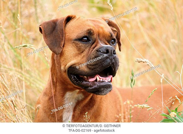 German Boxer Portrait