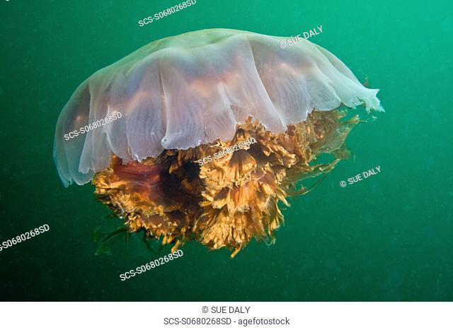 Lion's Mane Jellyfish Cyanea capillata