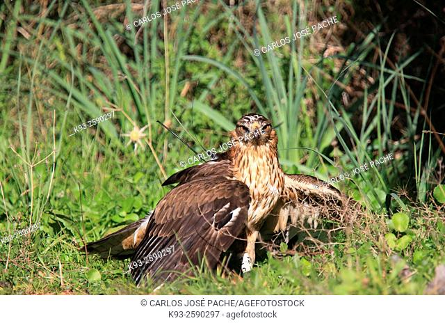 Adult Águila azor-perdicera, (Aquila fasciata) Serra de Tramuntana, Mallorca, Islas Baleares