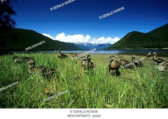 New Zealand, South Island, Lake Rotoroa, flock of ducks on meadow