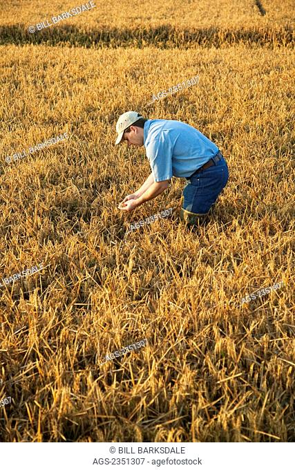 Agriculture - A farmer (grower) in his field inspects his nearly mature rice crop in order to determine when the harvest will begin / Arkansas, USA