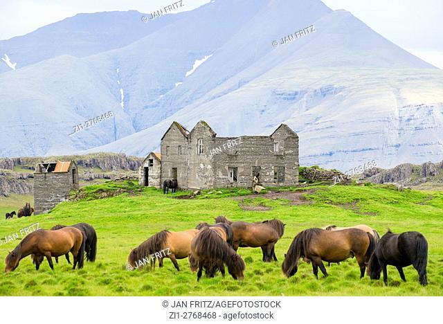Icelandic horses and ruin