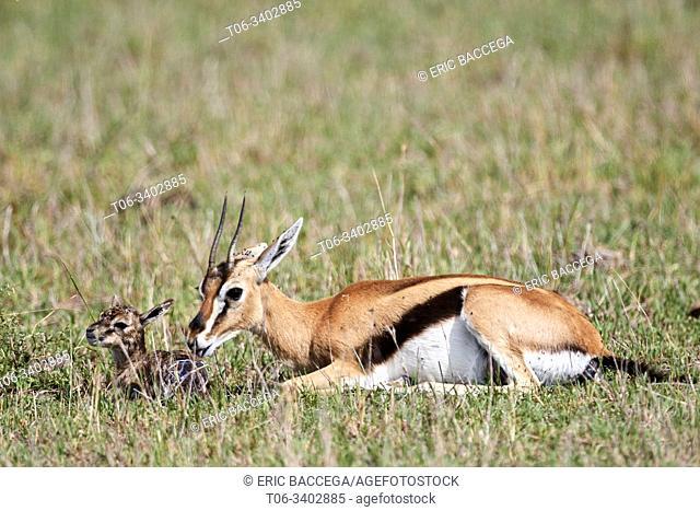 Thomson's gazelle (Eudorcas thomsonii) mother pulling birth sac off newborn baby. Masai Mara National Reserve, Kenya