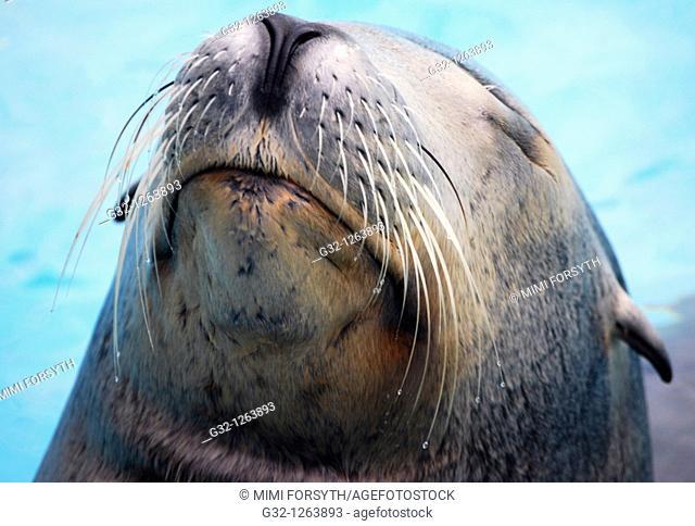 Sea Lion (Otaria flavescens)
