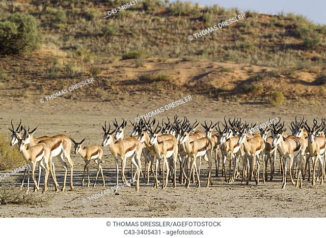 Springbok (Antidorcas marsupialis). Roaming herd in the dry Nossob riverbed. Kalahari Desert, Kgalagadi Transfrontier Park, South Africa