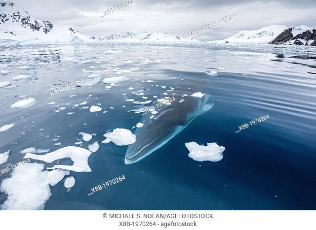 A curious Antarctic Minke whale (Balaenoptera bonaerensis) in Paradise bay, Antarctica, Southern Ocean