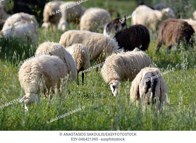 Herd of sheep grazing, Crete