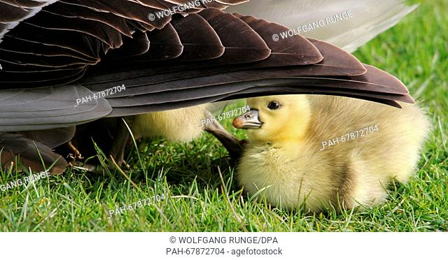 A grey goose chick looks for protection by its mother a pen near Sankt Peter-Ording, Germany, 27 April 2016. The grey goose usually lays four to six eggs