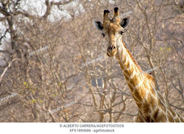Giraffe, Giraffa camelopardis, Chobe National Park, Botswana, Africa