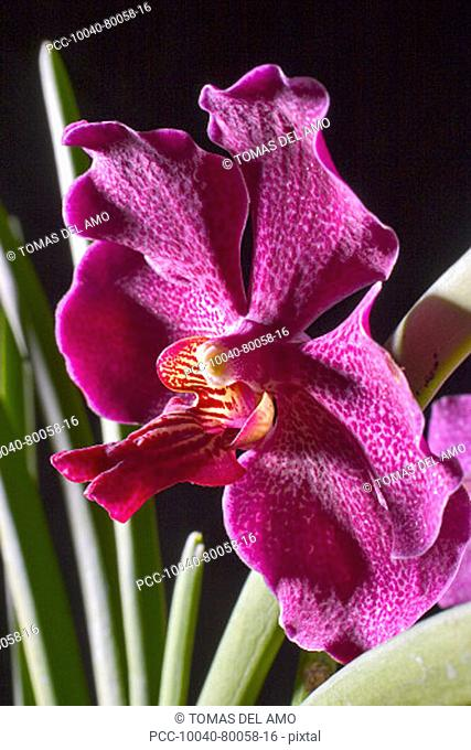 Hawaii, close-up of red spotted orchid with green leaves, studio shot on black background
