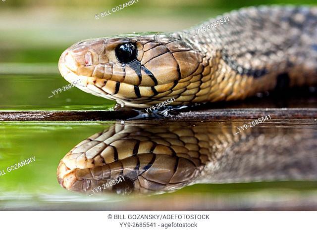 Texas indigo snake (Drymarchon melanurus erebennus) [Controlled Specimen]- Camp Lula Sams, Brownsville, Texas, USA
