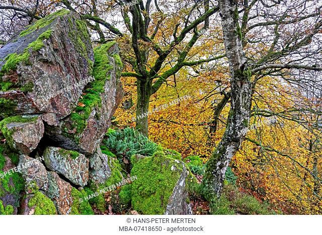 Autumn forest at Maunert at Taben-Rodt, Saartal, Rhineland-Palatinate, Germany