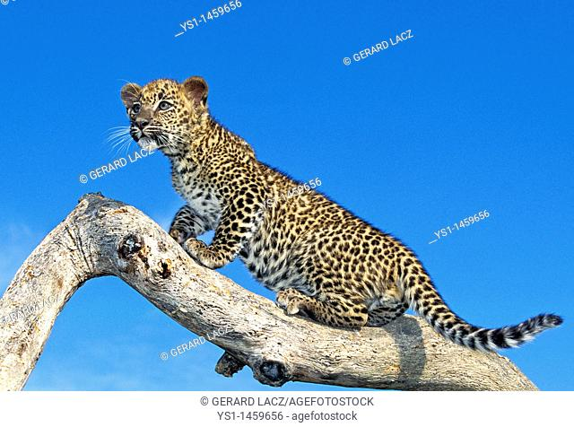 LEOPARD panthera pardus, CUB STANDING ON BRANCH