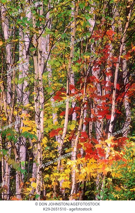 Red maple foliage with birch tree trunks, Lively, Ontario, Canada