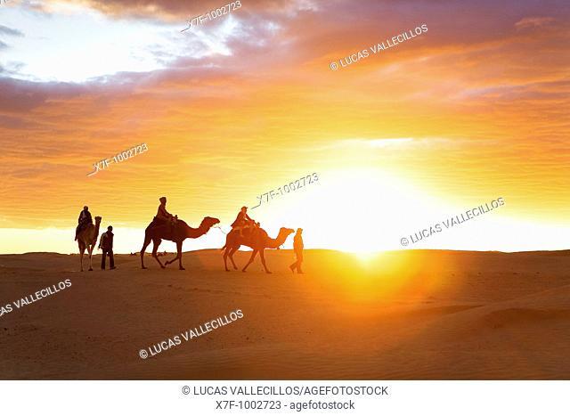 Tunisia Douz  Desert  dromedaries