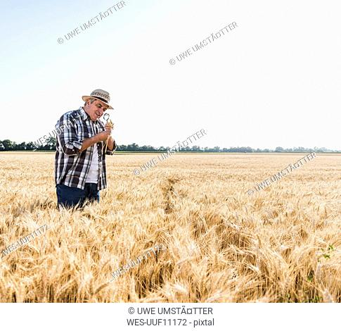 Senior farmer in a field examining ears with magnifier