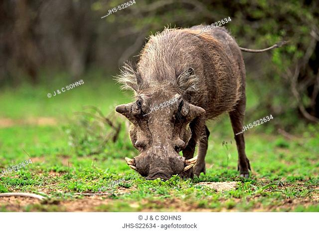 Warthog, (Phacochoerus aethiopicus), adult walking searching for food, Hluhluwe Umfolozi Nationalpark, Hluhluwe iMfolozi Nationalpark, KwaZulu Natal