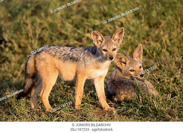 Black-backed Jackal (Canis mesomelas). Two pups at the entrance to den in morning light. Masai Mara, Kenya