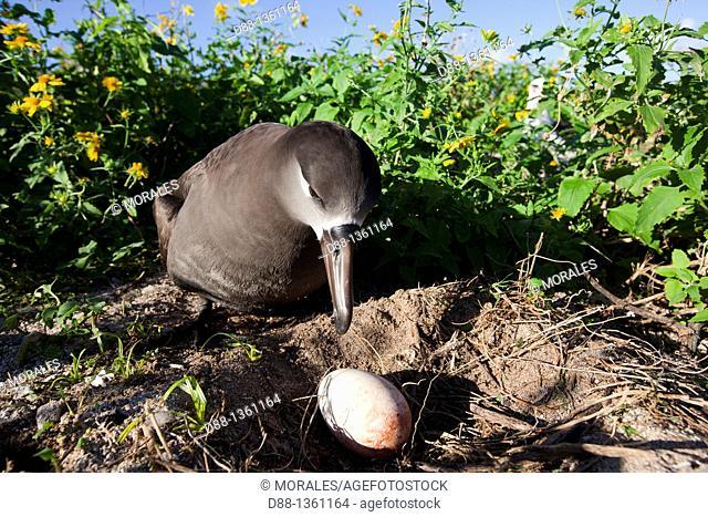 Black-footed Albatross (Phoebastria nigripes), Midway Atoll National Wildlife Refuge, Sand Island, Hawaii, USA