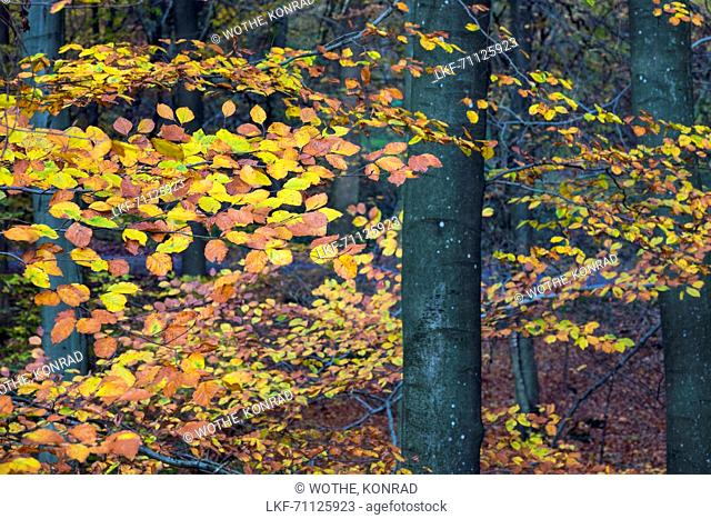 beech forest in autumn, Fagus sylvatica, Saarland, Germany, Europe