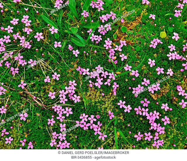 A patch of Cushion Pink or Moss Campion (Silene acaulis), Tyrol, Austria