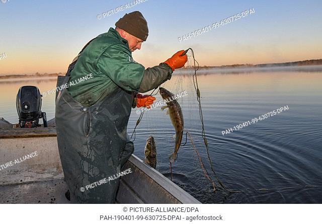 01 April 2019, Brandenburg, Groß Schauen: Laszlo Acz, fisherman of the fishery Köllnitz, fetches in the early morning at sunrise a set net with two pikeperches...