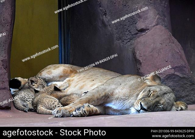 06 October 2020, Thuringia, Erfurt: Three baby lions and the lion mother Bastet show themselves in the lion savannah in the Thuringian zoo park