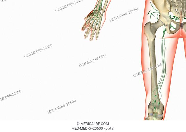 The lymph supply of the thigh