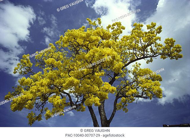 Primavera or gold tree (Tabebuia donnell-smithii) Bignoniaceae, with bright yellow blossoms in blue sky