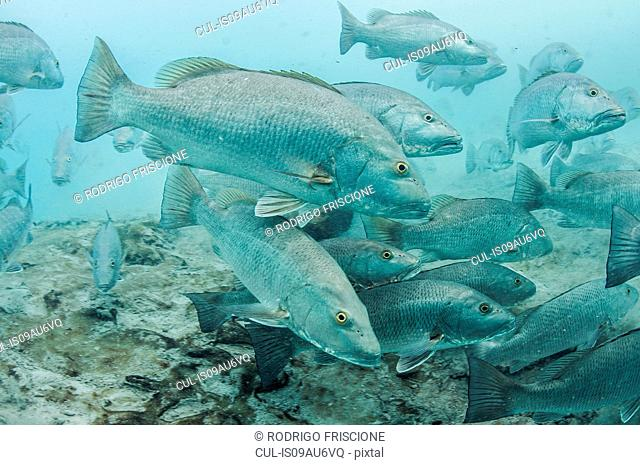 Underwater view of large cubera snapper schools gathering around a fresh water ocean sinkhole, Cancun, Quintana Roo, Mexico