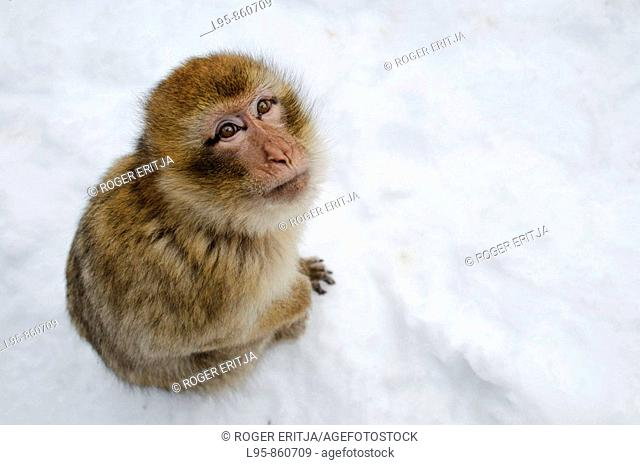 Barbary Macaque (Macaca sylvanus) sitting in the snow in winter at the cedar forest, Azrou, Morocco