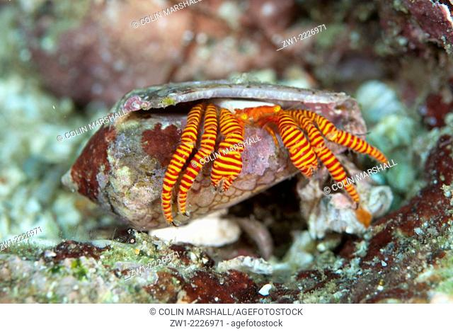 Halloween Hermit Crab (Ciliopagurus strigatus) with bright banded legs in Cone shell (Conus sp.), Angel's Window dive site, Lembeh Straits, Sulawesi, Indonesia